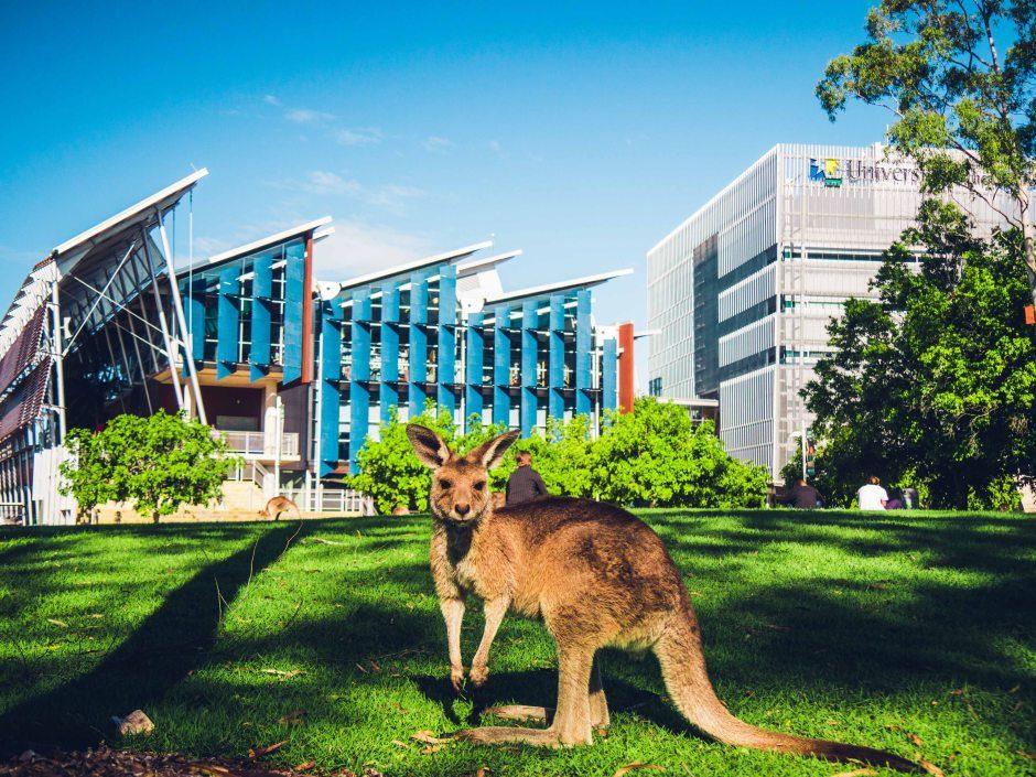Studera på Sunshine Coast i Australien kängurus