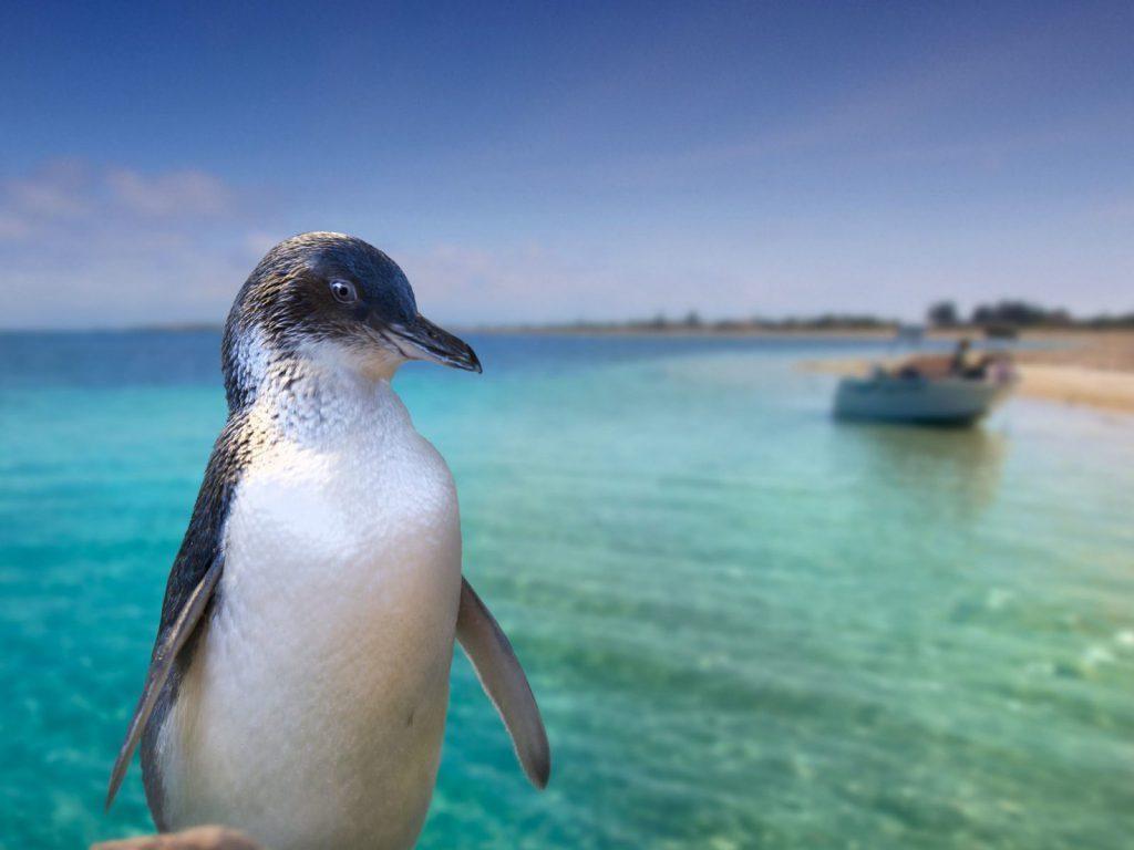 pingviner-tiwa-perth