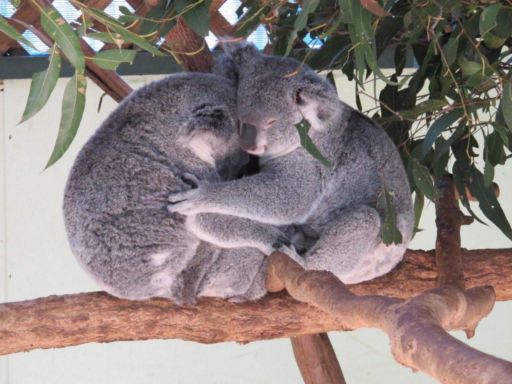 Besök koalor på wildlife parks i Wollongong, Australien, Studera utomlands i Australien på University of Wollongong