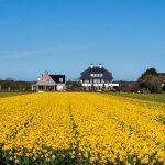 studera utomlands i nederländerna, tulpaner, odlingar, blommor, gult,