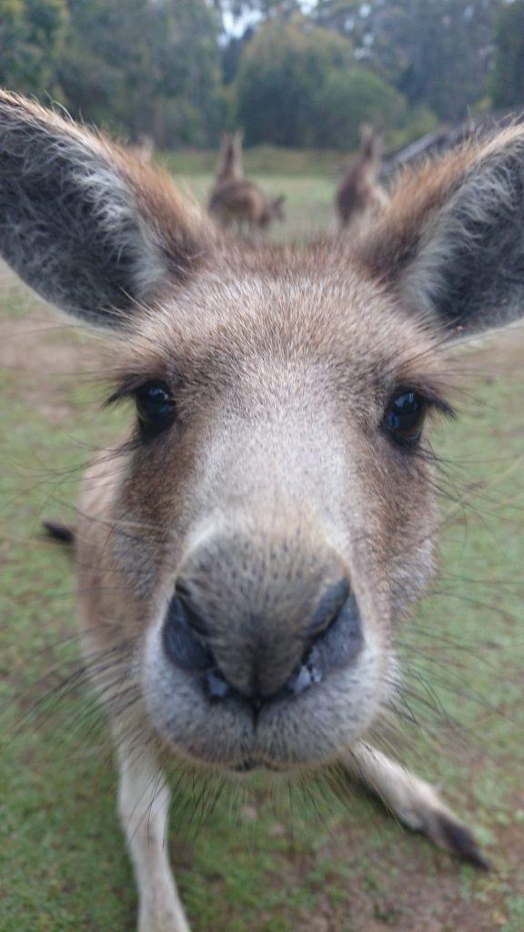 studera på swinburne university of technology, melbourne, australien, blueberry student fabian, känguru, äventyr, reseberättelse, studera utomlands, blueberry, blueberry.nu