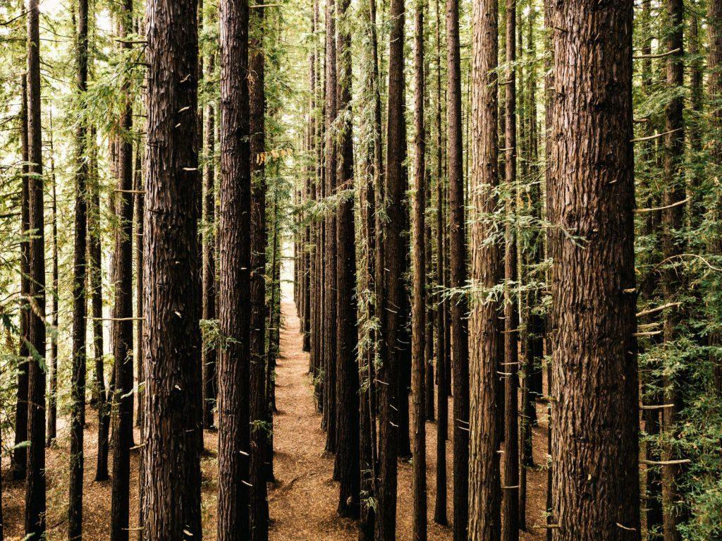 Studera i Melbourne, Australien, Swinburne University of Technology, Redwood träd, ansök via blueberry.nu