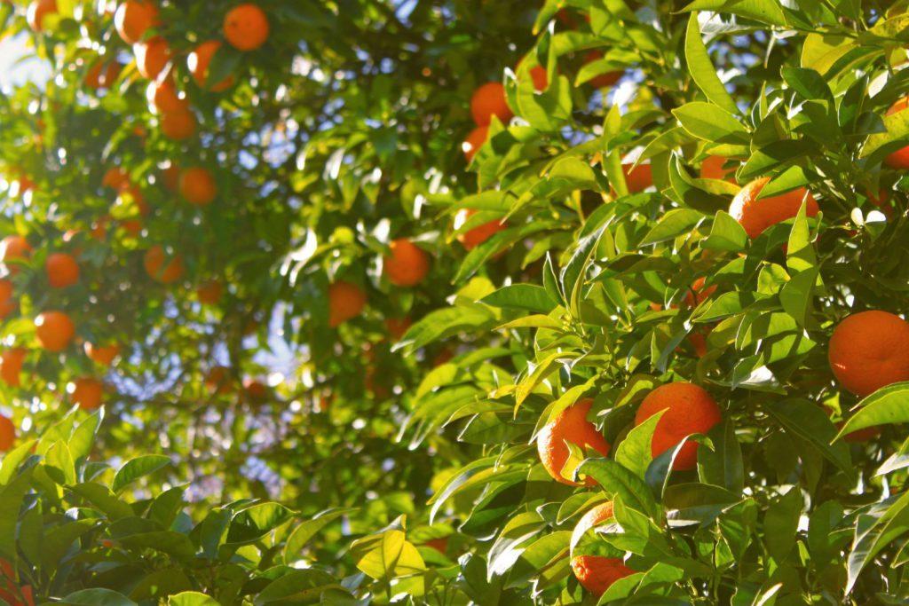 apelsin träd, orange county, kalifornien, solsken, mogna apelsiner, plocka, frukt