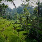 Fält i Bali