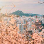 Körsbärsträd i Seoul